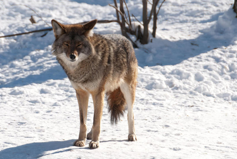 Killing coyotes is not the best way to keep livestock safe, says Draheim.