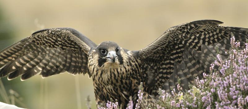 picture of a peregrine falcon