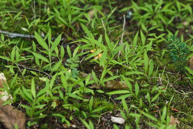 Invasive plant Japanese stiltgrass