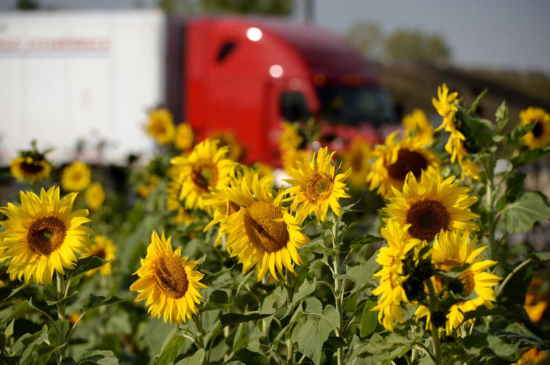 Sunflowers on the shoulder of a highway
