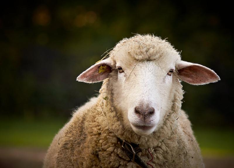 Could a flock of sheep lead researchers to a cure for Huntington's Disease?