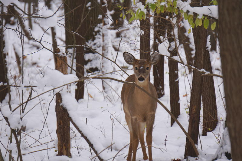 deer in snowy woods