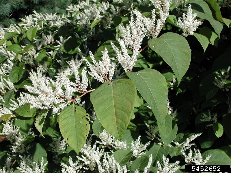 Japanese knotweed is a prohibited invasive plant species in Michigan.