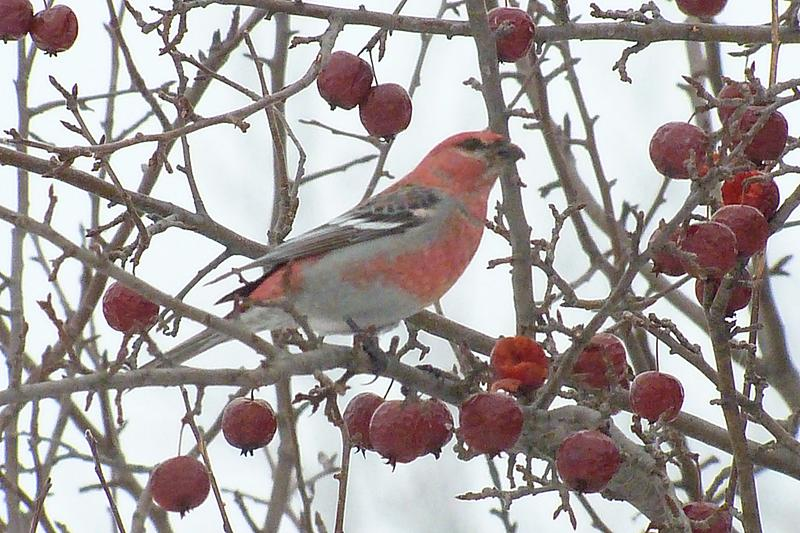 pine grosbeak in tree with berries