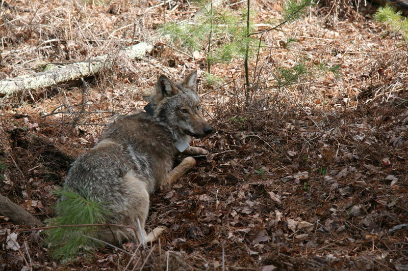 A GPS collared wolf in the Upper Peninsula.