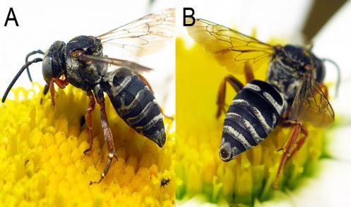 A new bee species found in Michigan, Triepeolus eliseae