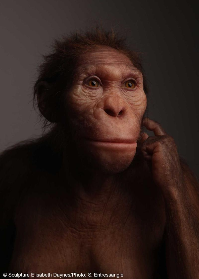 Life-size sculptural reconstruction of Australopithecus sediba, an extinct human relative that roamed southern Africa 2 million years ago.