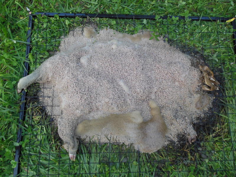 Species of the necrobiome (insects and microbes) are voracious and efficient consumers of decomposing bodies. This 20 kg pig carcass was reduced to bones in less than a week during a summer study.