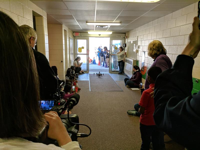 Students, teachers, and others watch ducks as they go outside