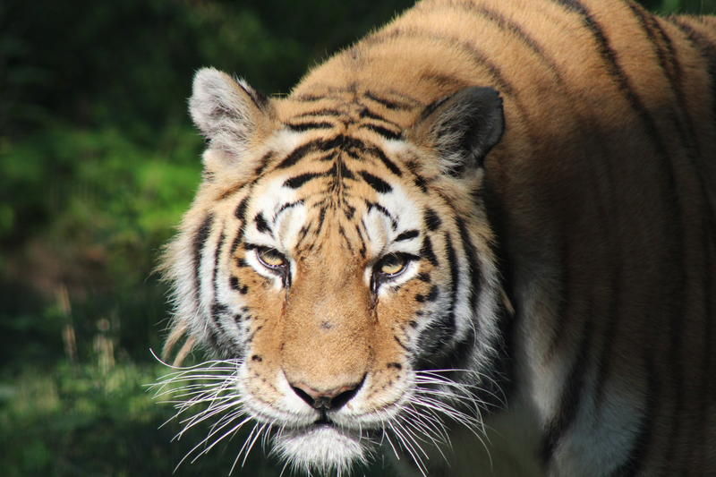 The John Ball Zoo's Amur tiger