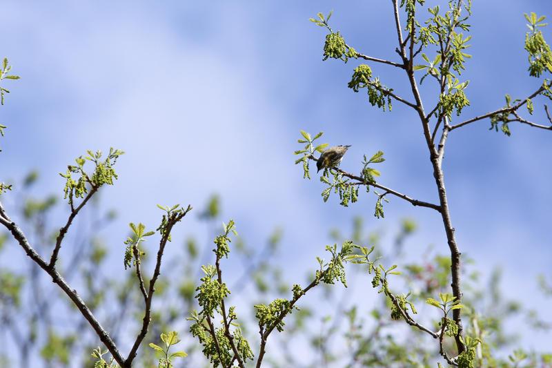 A male Cape Bay warbler.