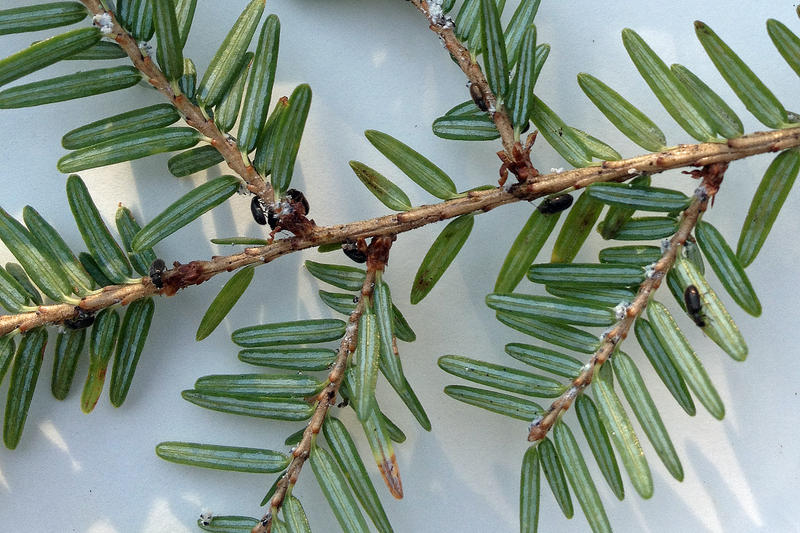 Ln beetles are predatory, and scientists hope that they will spread and eat adelgids off the hemlocks.