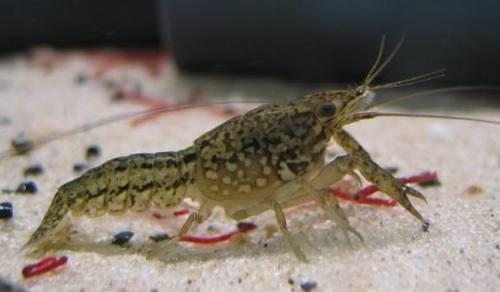 The Marmorkreb, or marbled crayfish, can clone itself.
