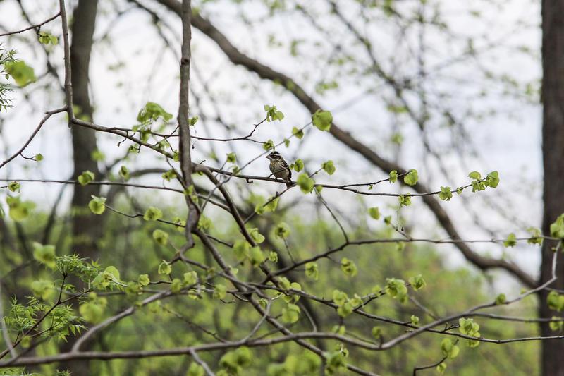 A female rose-breasted grosbeak
