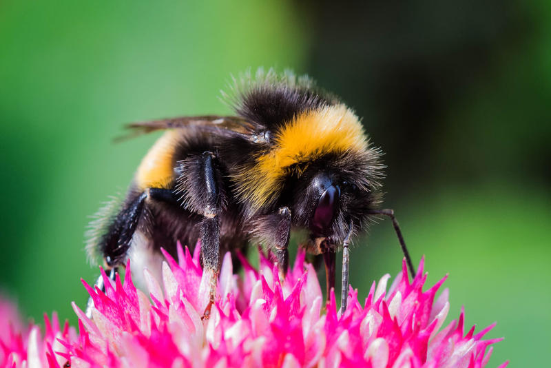 a bumbleebee on a pink flower
