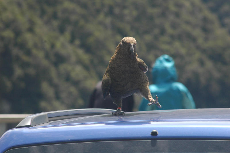 A kea in Arthur's Pass National Park in New Zealand.