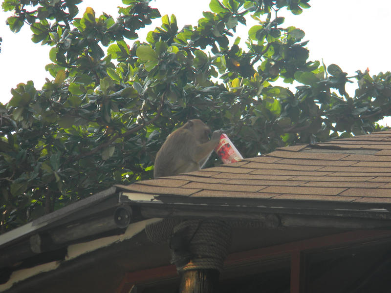 A macaque drinks from a juice carton the animal just stole from some beachgoers at Railay Beach, Thailand.