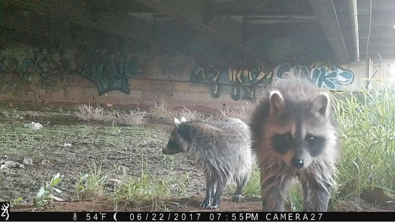 Raccoons in Laramie, WY.