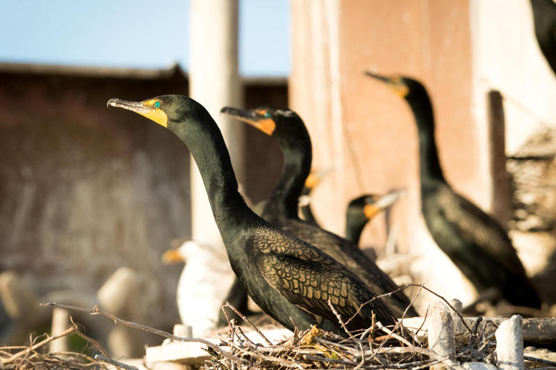 Cormorants at attention on the Morazan