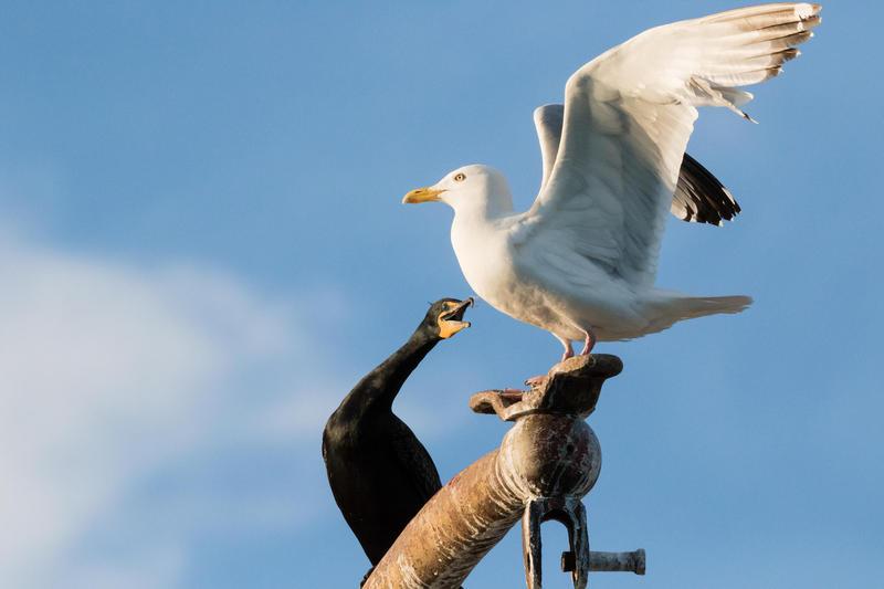 Cormorant and herring gull