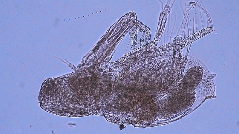 Diaphanosoma fluviatile, recently found in western Lake Erie.