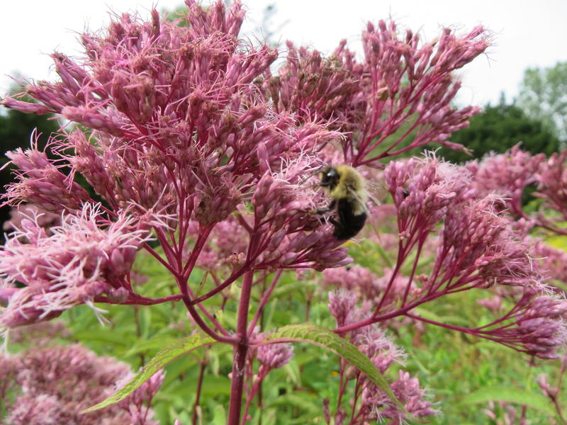 Bees love joe pye weed, and so do butterflies.