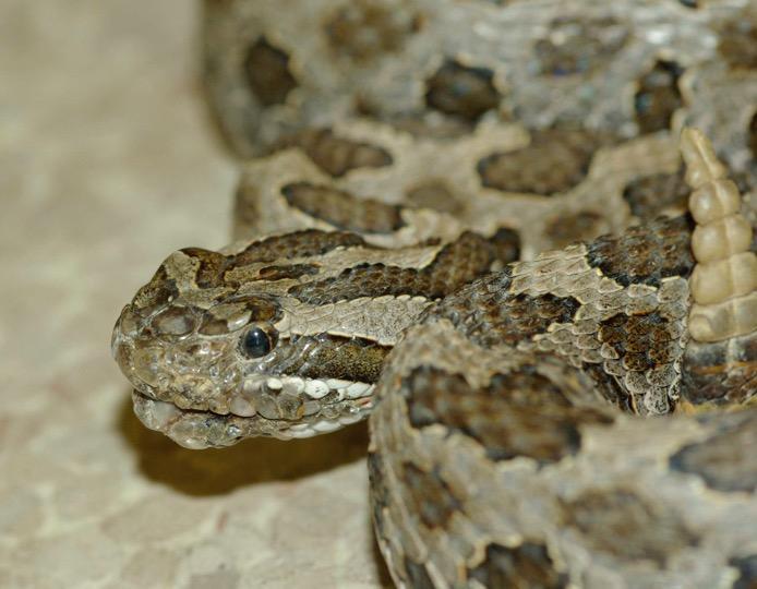 An eastern massasauga rattlesnake.