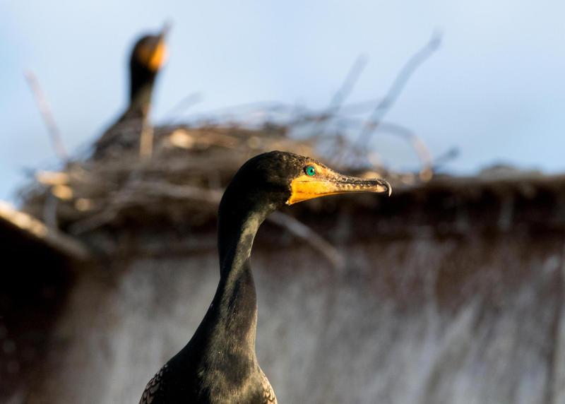 Cormorant on the Morazan
