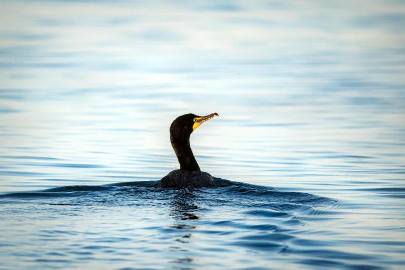 Cormorant swimming off South Manitou Island