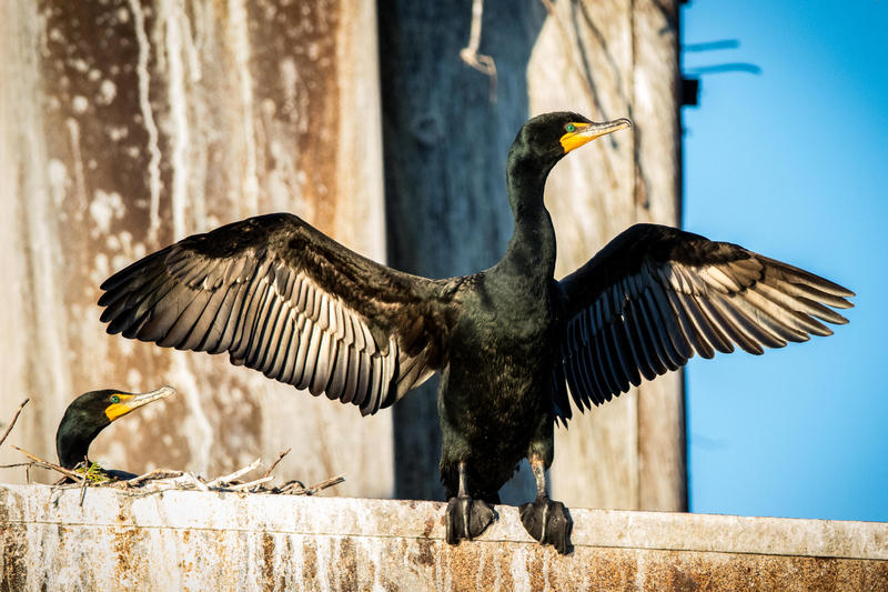 Cormorant drying its wings on the wreck of the Francisco Morazan off South Manitou Island.