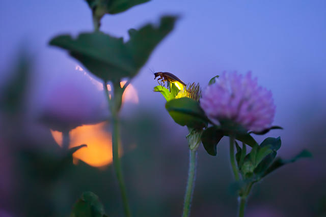 Firefly or lightning bug on a flower