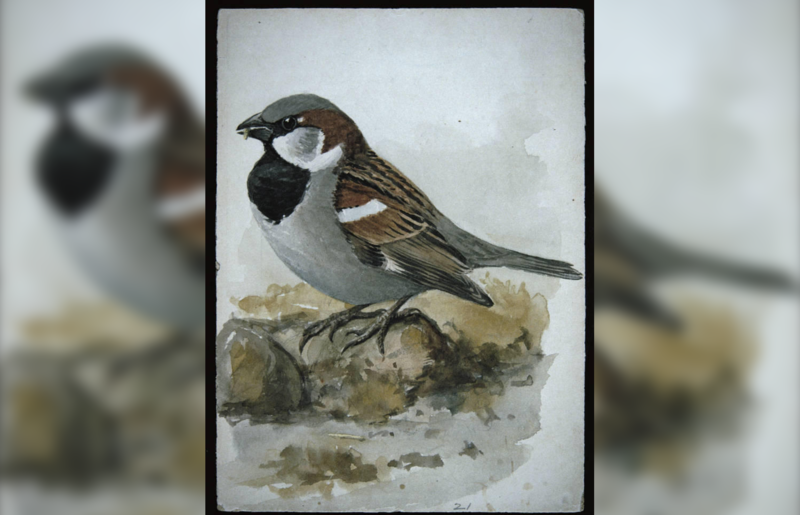 A painting of a house sparrow.