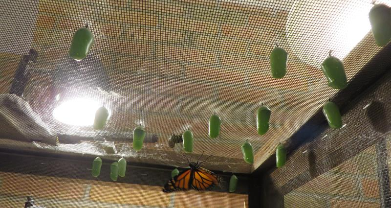 The nature center is raising monarchs in an enclosure.
