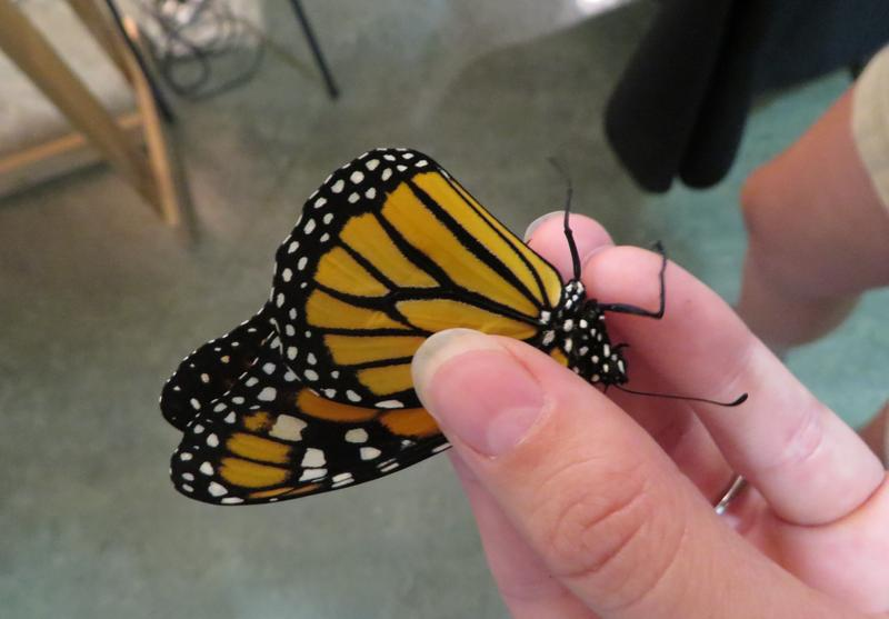 Jen Tagett demonstrates how to safely hold a monarch.