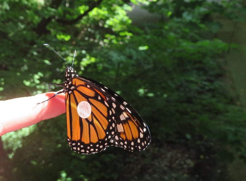 A tagged monarch at the nature center.