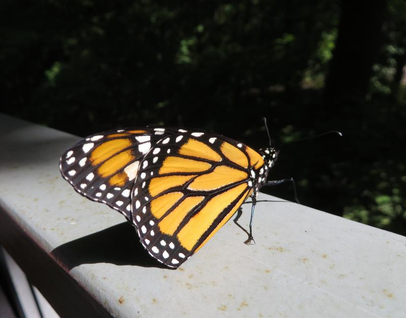 A monarch butterfly at the Kalamazoo Nature Center.