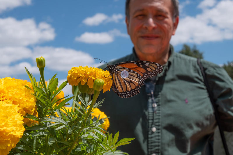 MSU assistant professor David Mota-Sanchez with a tagged butterfly.