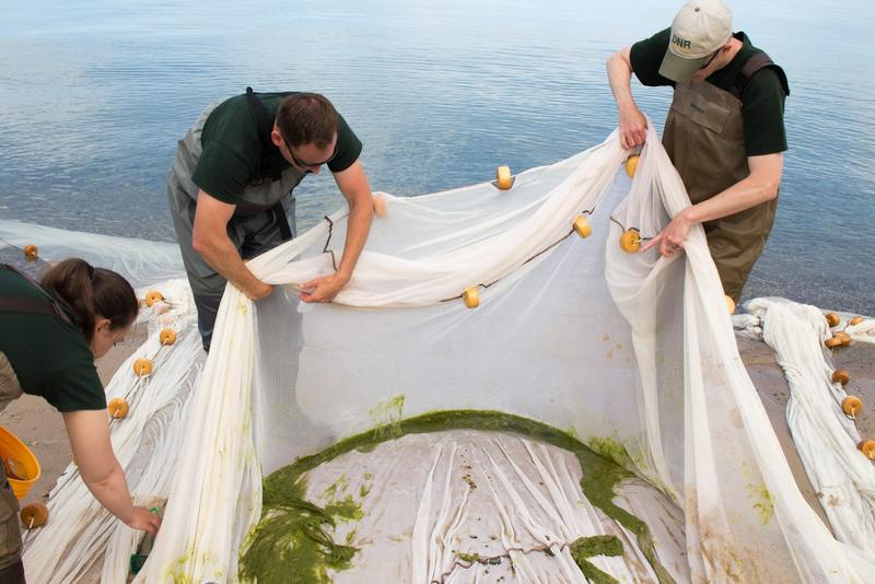 Biologists search for whitefish in their net.