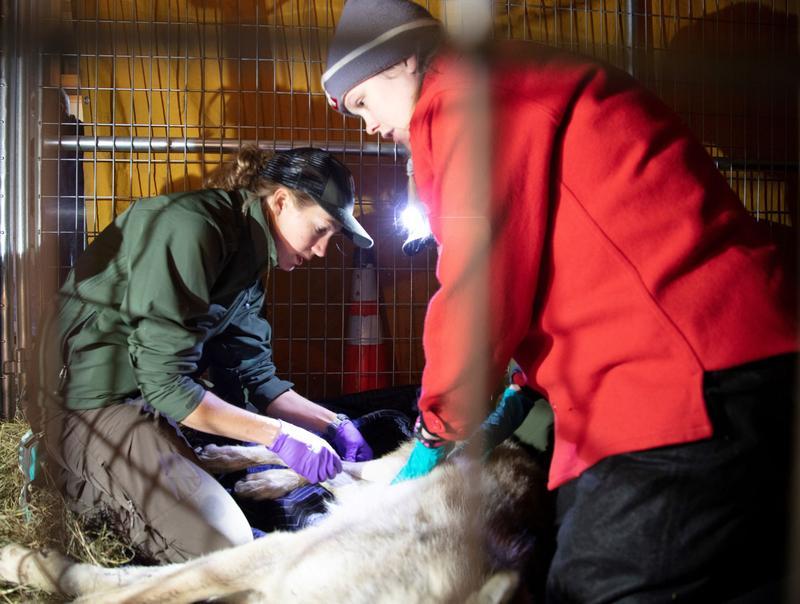 NPS Wildlife Vet Michelle Verant and USGS Wildlife Biologist Shannon Barber-Meyer performing exam.