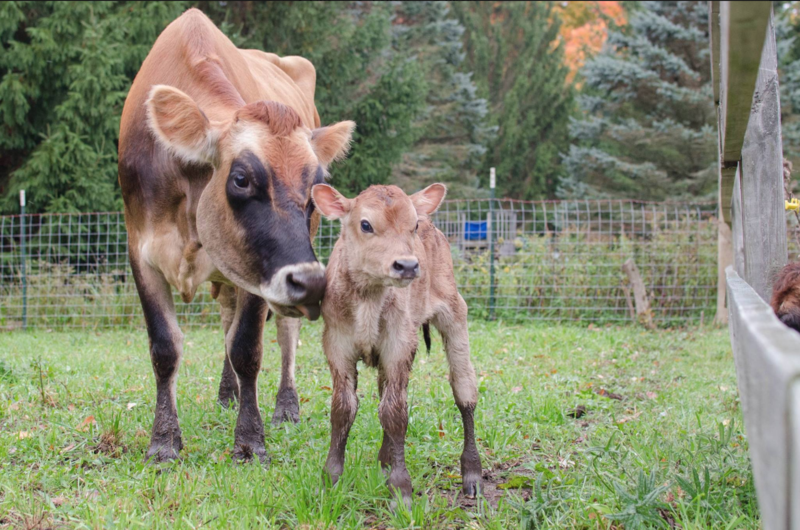 A cow and her calf on Trillium Wood Farm.