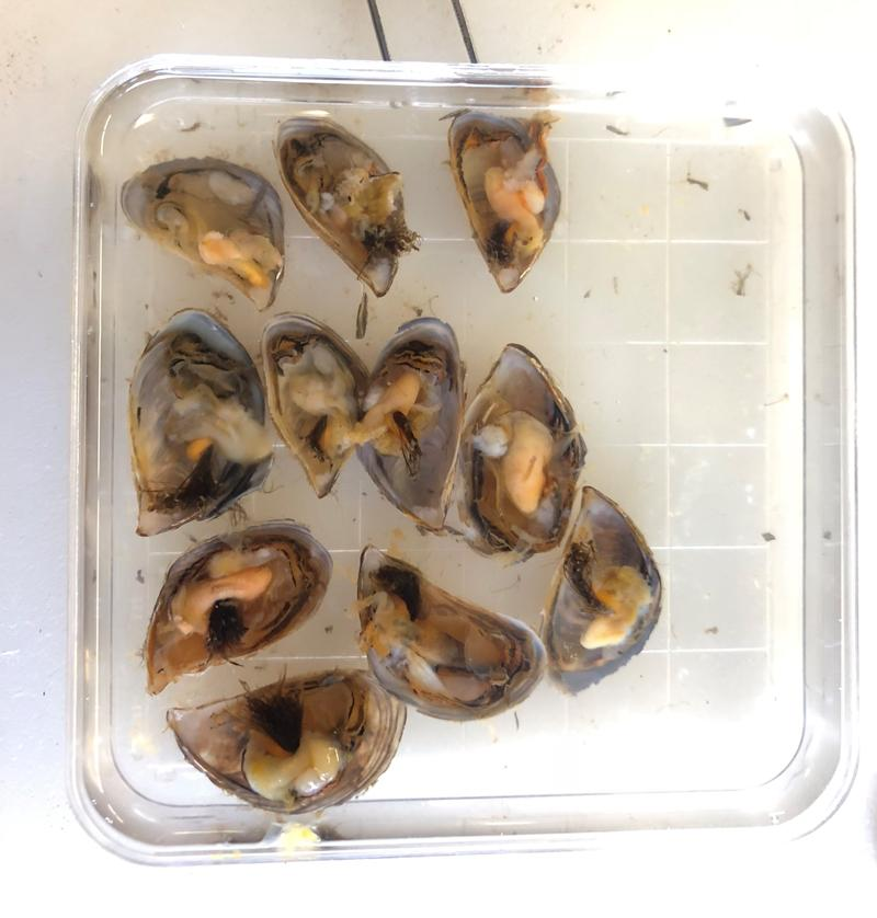 Shucked mussels ready for inspection.