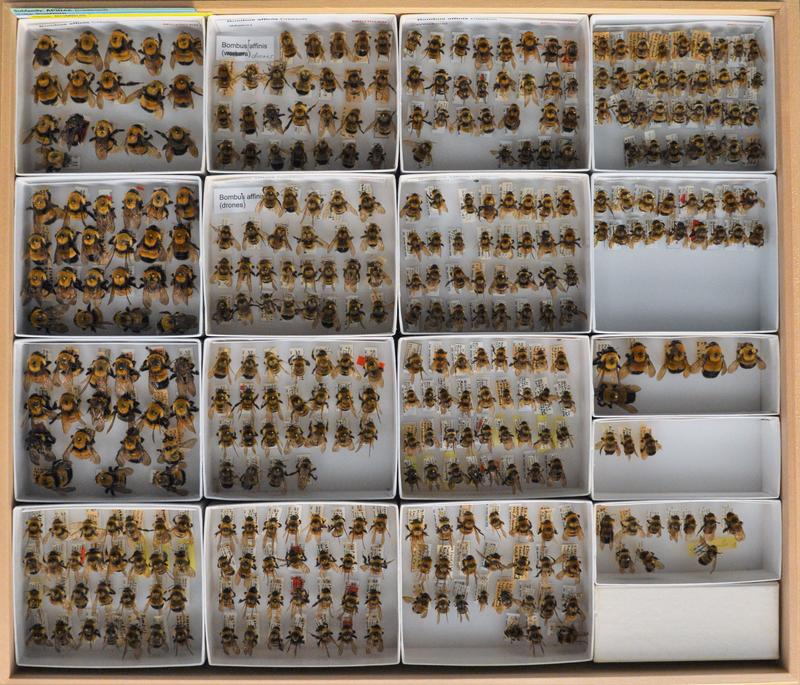 In North America, there are about 47 varieties of bumblebees. Many are in decline.