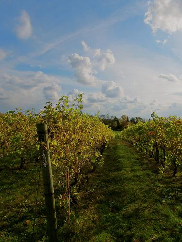 Grape vines in west Michigan