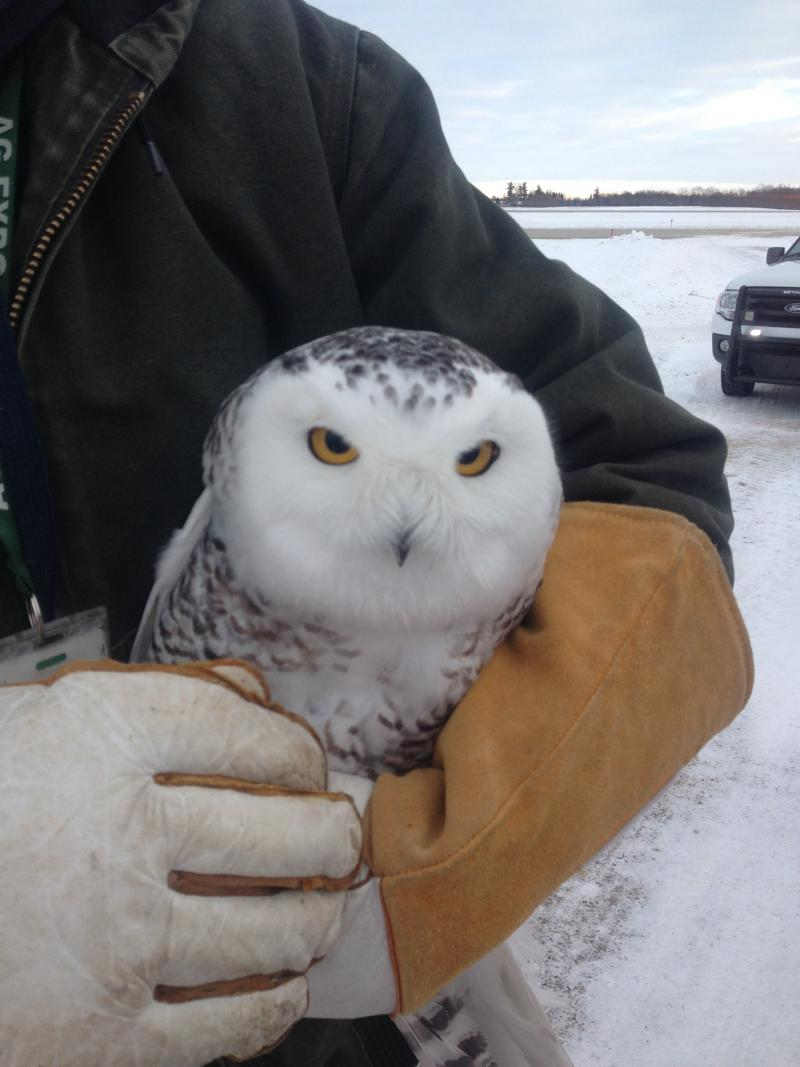 USDA wildlife specialist Aaron Bowden holds a snowy owl captured at GRR this week. It was tagged and released 50 miles away.