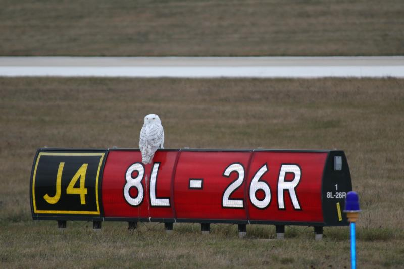 Snowy owls don't scare easily. They've been spotted in the middle of the busiest runways at GRR and on taxiway markers nearby.
