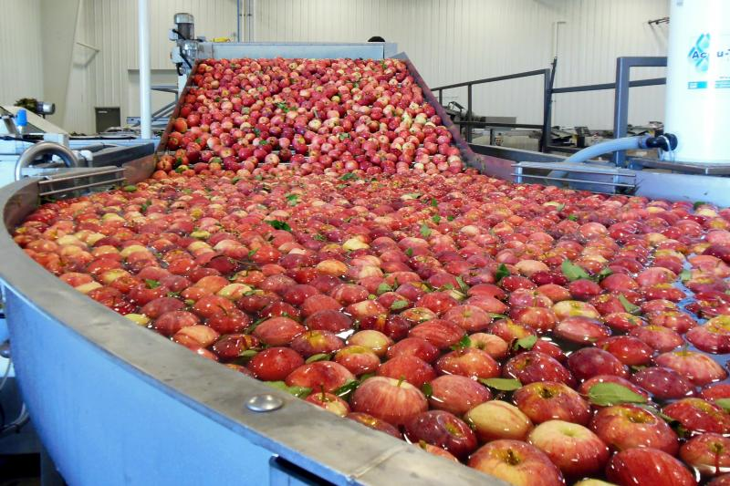 Apples float in a sort of water conveyer belt to be sorted at Elite Apple's packing plant in Sparta.