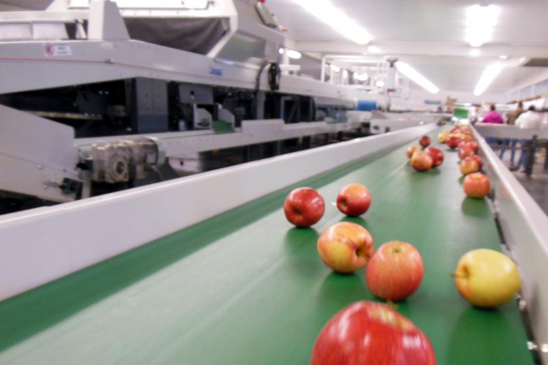 Apples rejected by the machine roll down a line. Many of these apples will be rescanned.