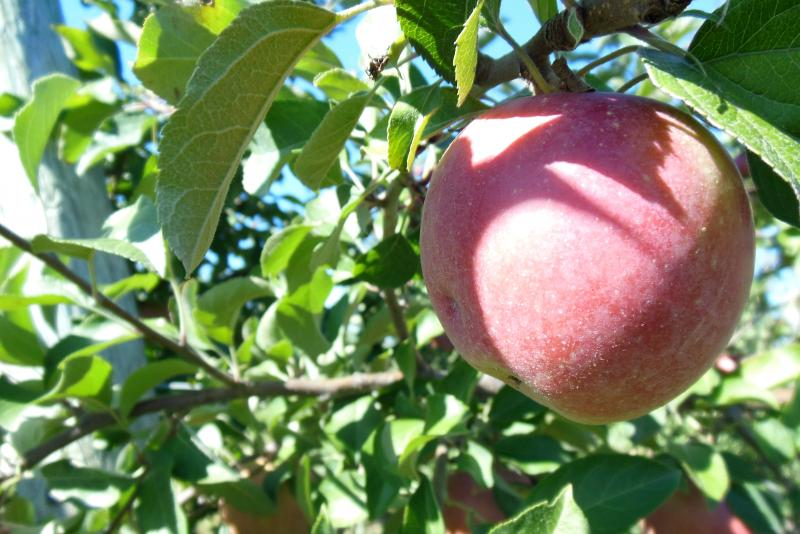 Fuji apples at Rob Steffens' orchard.