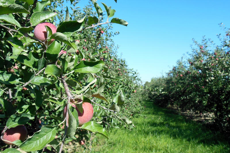 Rows of Fuji apple trees at an orchard in Kent County's 'fruit ridge.'