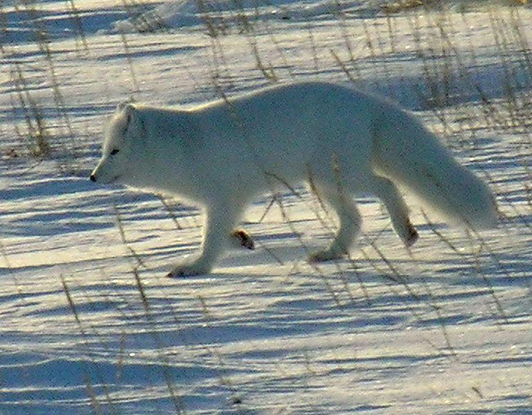 A wild arctic fox in northern Manitoba